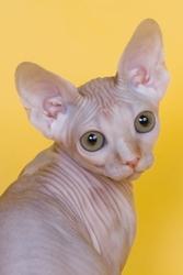 Котята канадского сфинкса НЕДОРОГО