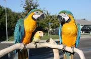 Oдома,  поднятые и зарегистрирован синих и золотых попугаи ара для прод